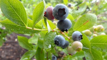 Are Blueberries Acidic?